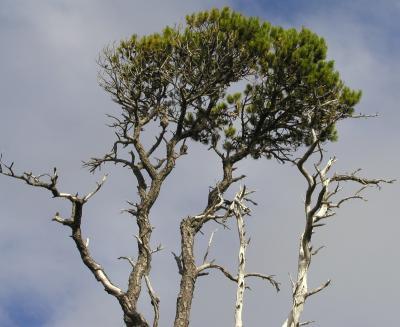 Tree on cape scott hike