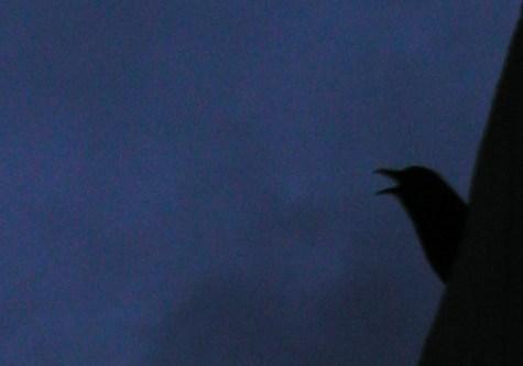 crow_head.jpg